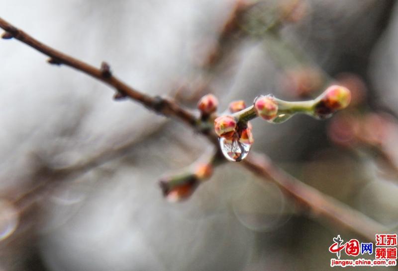 含苞待放的腊梅接受着雨雪的洗礼(摄影 郑鹏)
