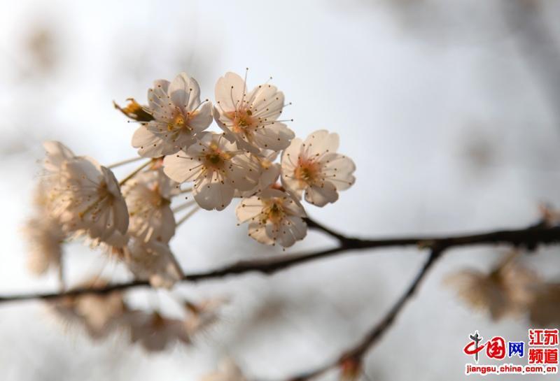 南京鸡鸣寺樱花提前绽放