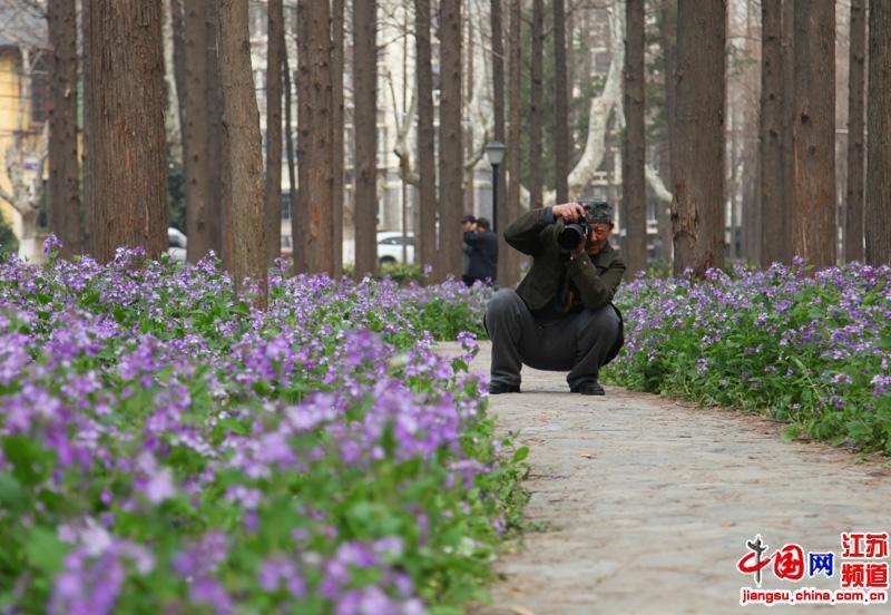 南京理工大学二月兰绽放