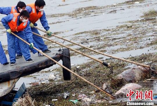 3月11日,上海黄浦江松江段漂浮死猪打捞工作仍在继续。此前一日的官方数据显示,已经有1200多头死猪被打捞上岸并进行无害化处理。