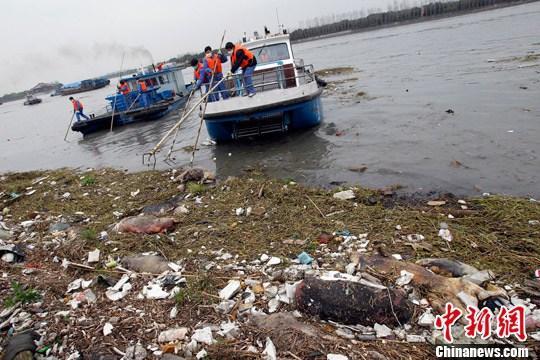3月11日,上海黄浦江松江段漂浮死猪打捞工作仍在继续。