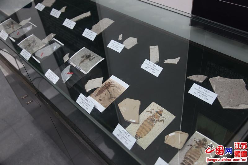 """南京古生物博物馆""""五一""""首次对外展出恐怖虫化石标本"""