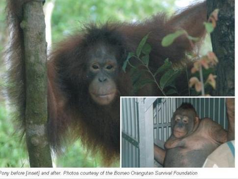 拨性奴的屄?_印尼村民逼红毛猩猩卖淫 毛发被剃除当作性奴隶(组图)
