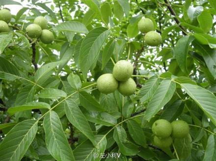 核桃分心木的功效与作用及食用方法