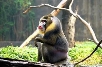 盘点世界十大珍稀猴子(组图)