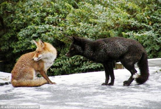 冬天是动物交配的季节