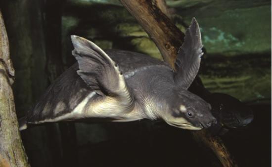 """核心提示:这批将要发往中国广东的4600多只珍稀海龟价值9万美元,除了一部分被人买去当宠物,也有一部分将成为人类的美食或者做成中药。 参考消息网 2月24日报道 外媒称,印尼当局破获一起销往中国的受保护乌龟走私案。印尼海关说,近日在雅加达郊外的一个建筑物的集装箱内查获了3700多只猪鼻龟和近900只蛇颈龟。这些乌龟估价为9万美元左右,正准备空运到中国广州。 据美国之音电台网站2月24日报道,国际自然保护联盟将猪鼻龟列为""""易危""""动物,蛇颈龟为""""极危""""受保护动物"""