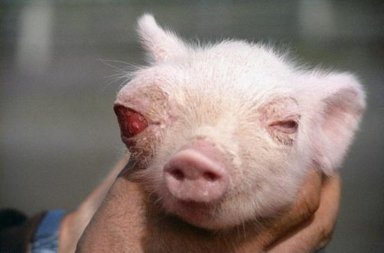 动物 福岛/4.红眼猪...