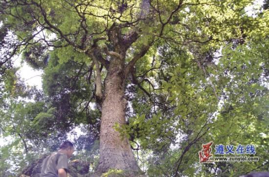 习水发现金丝楠木群