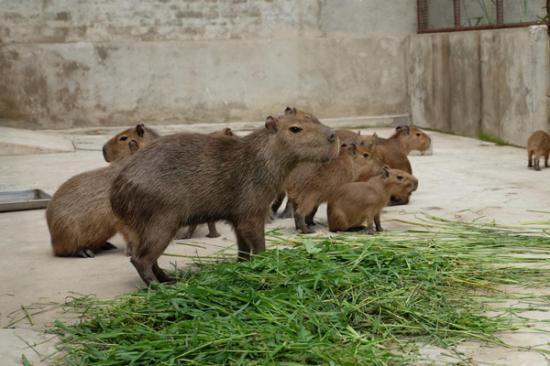 """图为来自秘鲁的动物界的""""网红新贵""""水豚"""