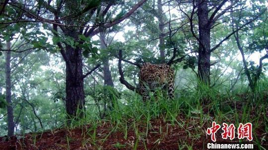 东北豹现身黑龙江:全球70只 比东北虎更濒危