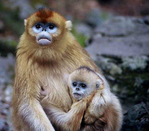 中国野生动物保护协会和世界野生动物基金会(wwf)选为自己的会徽标志.