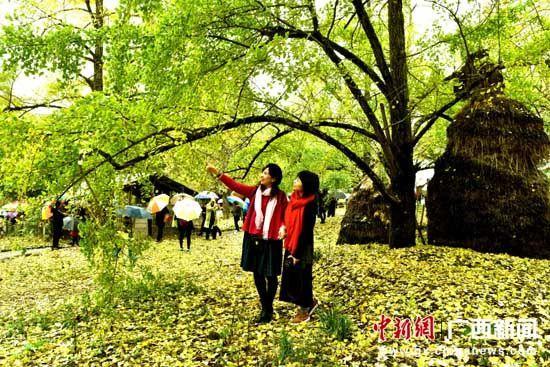 图为游客在观赏银杏树。唐梦宪 摄