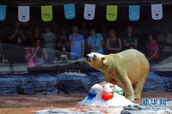12月22日,北极熊伊努卡在新加坡动物园为它举行的生日派对上吃冰鱼蛋糕。 当日,新加坡动物园为将在12月26日满26岁的北极熊伊努卡举行生日庆祝会。伊努卡是首头在热带地区出生的北极熊。 新华社发(邓智炜摄)
