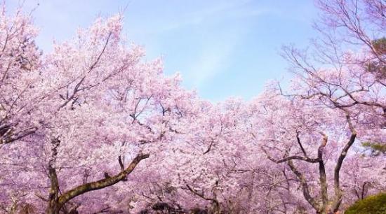 日本气象协会发布樱花花期 东京与福冈市将在