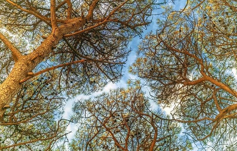 """森林""""树冠羞避""""奇观令人惊叹"""