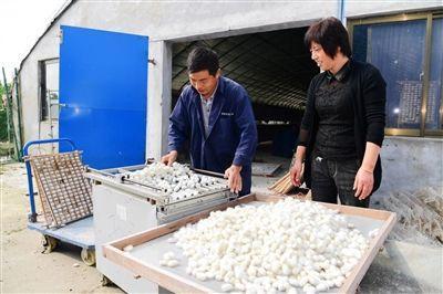 海安发展壮大蚕桑茧丝绸产业带动就业