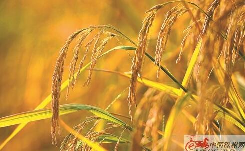 徐州水稻种植区迎来收获季:稻花香里说丰年