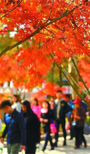 栖霞山新增2.6万株红叶树