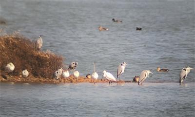 白琵鹭现身赤山湖