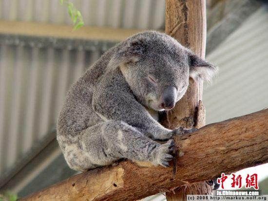 """南京市红山森林动物园提供的考拉睡觉照片   记者3日从南京市红山森林动物园获悉,本月下旬,3只来自澳大利亚的国宝——考拉将首次做客江苏。   树袋熊,又称考拉,是澳大利亚的国宝,也是澳大利亚奇特的珍贵原始树栖动物。考拉作为澳洲生物多样性保护重要的教育大使来到南京,将会为更多的儿童和热爱动物的人群了解神奇的澳洲和神秘的澳洲动物提供更加直接的机会。   早在2014年,南京红山森林动物园就开始和澳大利亚方面沟通引进考拉的事宜,澳大利亚方面对于考拉的""""出口""""把关"""