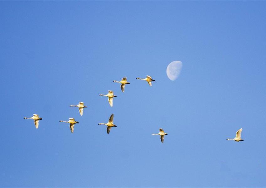 猫耳湖上天鹅伴月