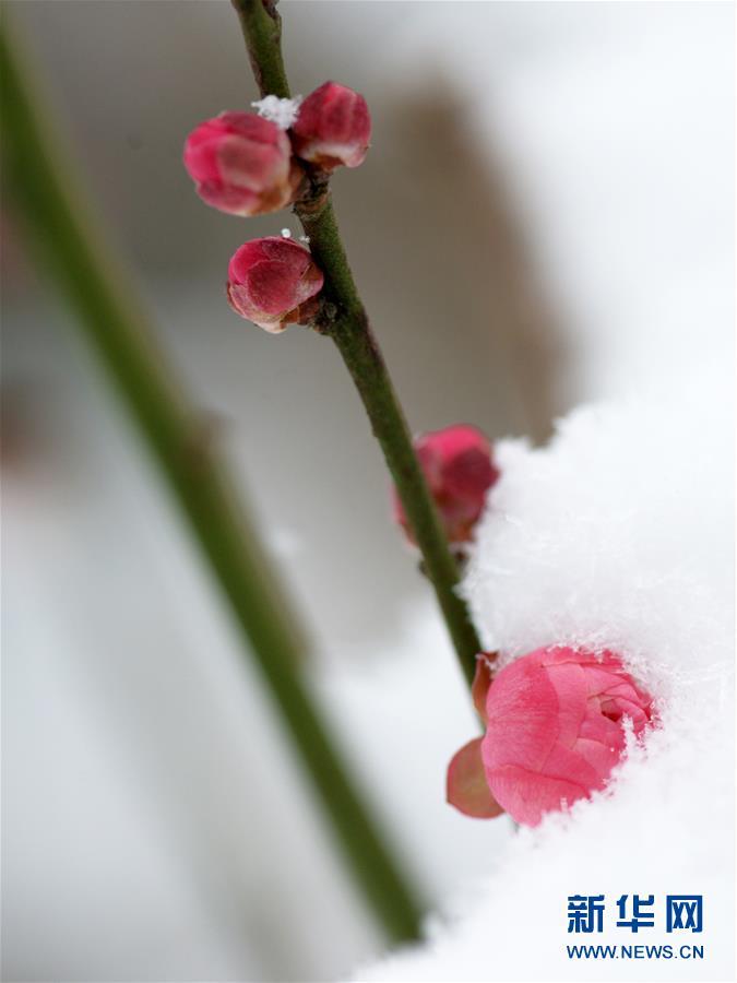 这是1月27日在南京市钟山风景区梅花山上拍摄的雪中梅.
