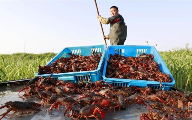 江苏盱眙:龙虾养殖助民增收