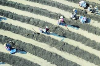 淮安盱眙芡实种植面积达1万余亩