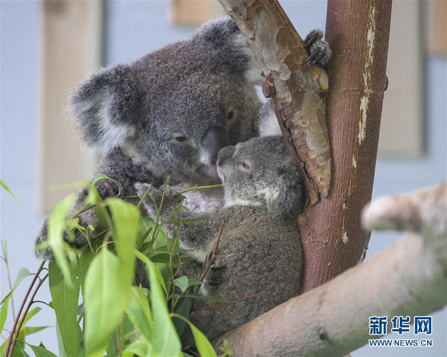 """这是8月20日在南京红山森林动物园拍摄的考拉""""茉莉""""(左)和考拉宝宝."""