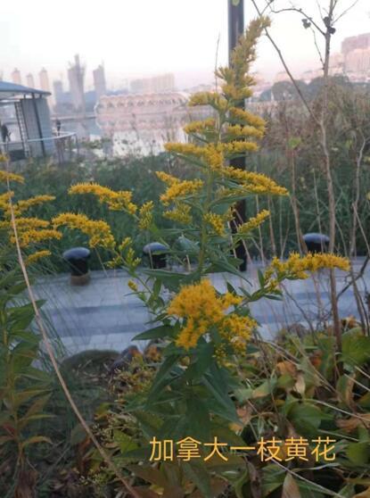 海安开发区整体行动将加拿大一枝黄花根治在萌芽状态