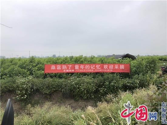 兴化市兴东镇:采摘园里桑葚甜