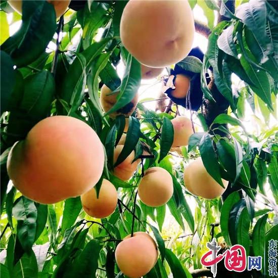 镇江荣炳秋冬桃喜获丰收 采摘期至11月底